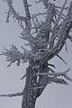 Pinus cembra hochfeld3718.JPG