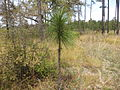 Pinus palustris 02, Reed Bingham State Park.JPG