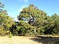Pinus patula, Esperanza, Puebla, México 2.jpg