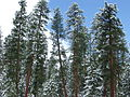 Pinus ponderosa subsp benthamiana in snow Lassen National Forest.jpg