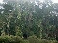 Pinus radiata Cambria.jpg