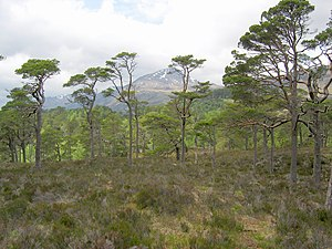 Caledonian Forest - Mam Sodhail as seen from Glen Affric