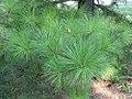 Pinus taeda 14zz.jpg