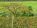 Plantação de rosas - panoramio.jpg