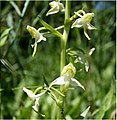 Platanthera chlorantha in Piedmont Italy.jpg