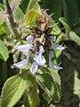Plectranthus barbatus from Ooty (2).jpg