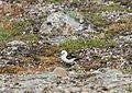 Plectrophenax nivalis IMG 3984 snöspurv longyearbyen.JPG