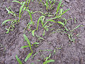 Pleospora betae spinach, kiemplantenziekte spinazie (1).jpg