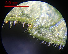 "The image is a photograph of the edge of the underside of a leaf. The leaf takes up the upper two-thirds of the image and the leaf margin runs right to left, with a single tooth jutting out bluntly to the left. Also sporadically along the edge of the leaf are small, transparent hairs. The light-colored leaf surface is intersected with dark veins, one of which comes in from the top right of the image towards the tooth, and it widens abruptly as it nears the tooth. Between the tip of the tooth and where it steps down to the next part of the leaf margin is a shallow bulge with a brownish hue, a distinctly different color from the rest of the leaf. A red scale bar at upper left, occupying about a quarter of the width of the image, above which reads ""0.5 mm."""