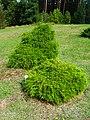 Podlaskie - Suprasl - Kopna Gora - Arboretum - Chamaecyparis pisifera 'Filifera Nana' - plant.JPG