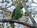 Poicephalus gulielmi -Birds of Eden, South Africa-8a (1).jpg