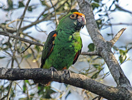 Poicephalus gulielmi -Birds of Eden, South Africa-8a (1).jpg