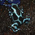 Poison Dart Frog By Trisha 4.jpg