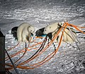 Polar bears chewing cables.jpg