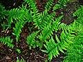 Polypodium vulgare 001.JPG