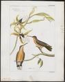 Polytmus fallax - 1820-1860 - Print - Iconographia Zoologica - Special Collections University of Amsterdam - UBA01 IZ19100127.tif