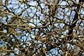 Poncirus Trifoliata (Rutaceae) (Ipernity-41317432).jpg