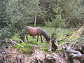 Pony grazing in Shave Wood, New Forest - geograph.org.uk - 54991.jpg