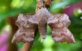 Poplar hawk moth - laothoe populi (27535818727).png