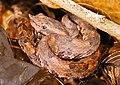 Porthidium sp. (Hognose Pitviper) (2533000384).jpg