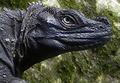 Portrait of Hydrosaurus celebensis, male, Pattununang.png