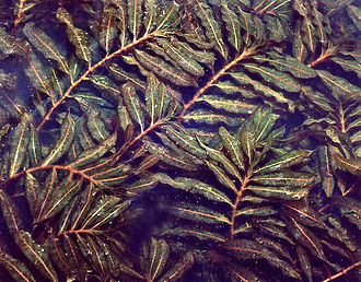 Potamogetonaceae - Potamogeton crispus