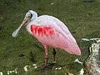 Prague 07-2016 Zoo img07 Platalea ajaja.jpg