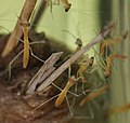 Praying Mantis (6941423418).jpg