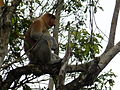 Proboscis Monkey sitting in a tree.JPG
