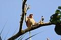 Proboscis monkey (mono narigudo) - Bako National Park - Sarawak - Borneo - Malaysia - panoramio.jpg