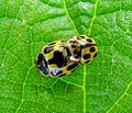 Propylea 14-punctata. Coccinellidae. Mating pair - Flickr - gailhampshire.jpg