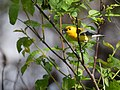 Prothonotary Warbler gets a worm (34535387876).jpg