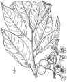 Prunus alleghaniensis drawing.png