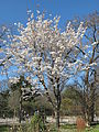 Prunus serrulata var. spontanea in flowers (Jardin des Plantes de Paris).jpg