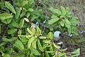 Prunus spinosa, Rosaceae 03.jpg
