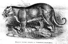 الفهد 220px-Pseudomelleopa