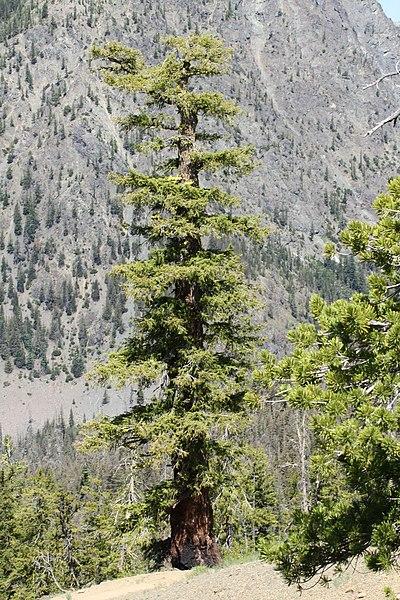 arbre sapin de douglas