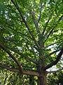 Pterocarya tonkinensis - J. C. Raulston Arboretum - DSC06125.JPG
