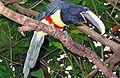 Pteroglossus aracari -Discovery Cove -USA-8.jpg