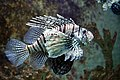 Pterois miles in Red Sea Aquarium 16.jpg