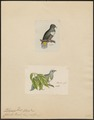 Ptilinopus rivolii - 1700-1880 - Print - Iconographia Zoologica - Special Collections University of Amsterdam - UBA01 IZ15600061.tif