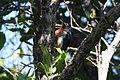 Puerto Rican Woodpecker Luquillo.jpg