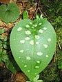 Pulmonaria officinalis (2484481042).jpg