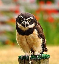 Pulsatrix perspicillata -Woodland Park Zoo-8a (1)