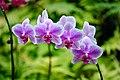 Purple Orchids (3002848562).jpg