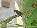 Purple Sunbird (Cinnyris asiaticus) (15268396663).jpg