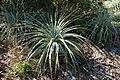 Puya coerulea - San Francisco Botanical Garden - DSC09868.JPG