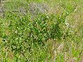 Puzzlebush (Ehretia rigida nervifolia) (11530107024).jpg