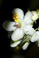 Pyrola rotundifolia - flower 01.jpg