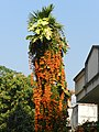 Pyrostegia creeper on nearby tree.jpg